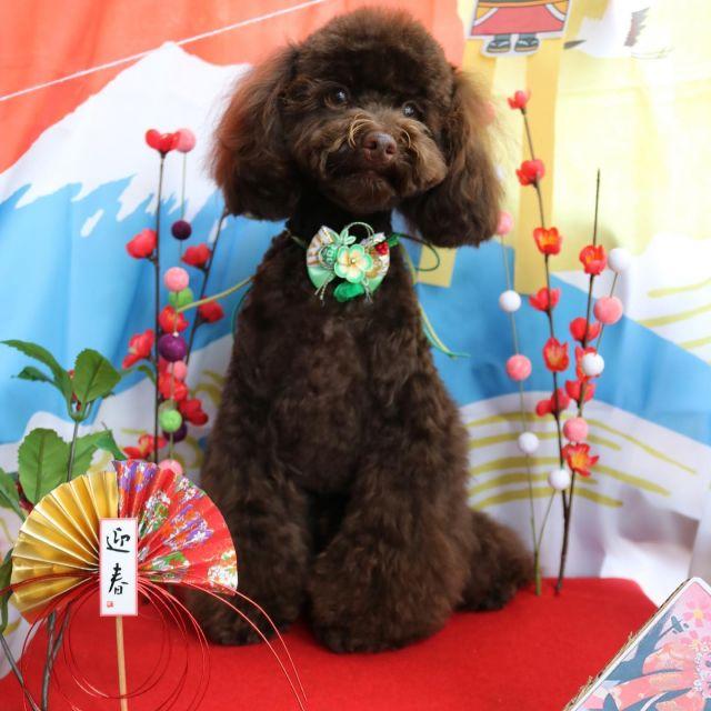 ジュン君が来てくれました☺️💕 クリスマス🎄も終わって次はお正月だね🎍❣️ 今年もありがとうございました☺️🎵 また来年もどうぞよろしくお願いします😆✨ 良いお年をお迎え下さい🥰  #ジュン君  #トイプードル  #お正月🎍  #今年もありがとうございました  #良いお年をお迎えください  #トリミング  #dog  #dogstagram  #doglover  #doglife  #montoblan
