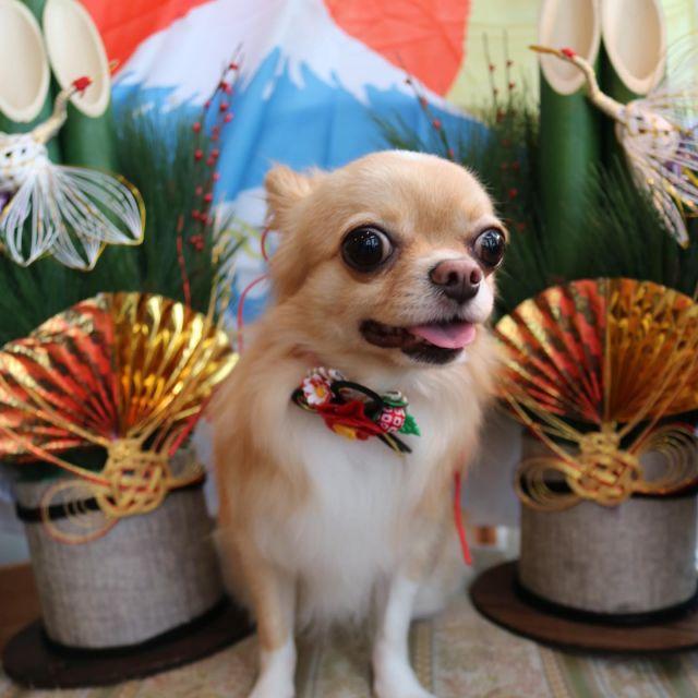 カノンちゃんが来てくれました☺️💕 今回は桃尻カットで可愛い丸まるお尻になりました😍🎵 トリミング後は甘えん坊さんなカノンちゃん😆✨ 今年もありがとうございました🥰 来年もどうぞよろしくお願いします☺️❣️ 良いお年をお迎えください🎍  #カノンちゃん  #チワワ  #トリミング  #お正月🎍  #今年もありがとうございました  #良いお年をお迎えください  #dog  #dogstagram  #doglover  #doglife  #montoblan