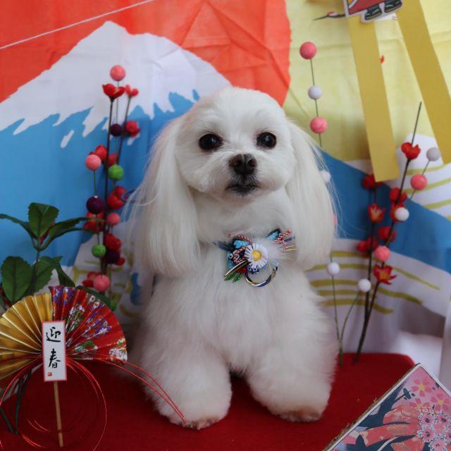 ロン君が来てくれました☺️💕 今年もいっぱい来てくれてありがとうございました🥰 今回は長めに残してツヤサラロン君です❤️✨ 体も綺麗になって素敵な年を迎えれるねっ😆✨ 来年もどうぞよろしくお願いします😊🎵  #ロン君  #マルチーズ  #トリミング  #炭酸泉  #お正月🎍  #今年もありがとうございました  #良いお年をお迎えください  #dog  #dogstagram  #doglover  #doglife  #montoblan