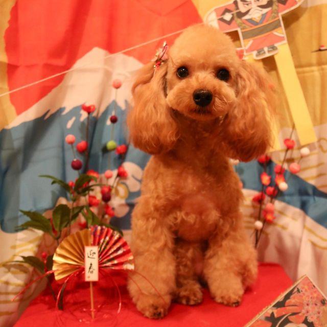 ティナちゃんが来てくれました☺️💕 2月の梅の花色ニットを購入してくださってありがとうございます❣️ とってもティナちゃんにお似合いですね〜😍✨ また来年もよろしくお願いします😊 良いお年をお迎えください🎍  #ティナちゃん  #トイプードル  #梅の花ニット #トリミング  #ハンドメイド  #お正月🎍  #今年もありがとうございました  #dogstagram  #dog  #doglover  #doglife  #montoblan