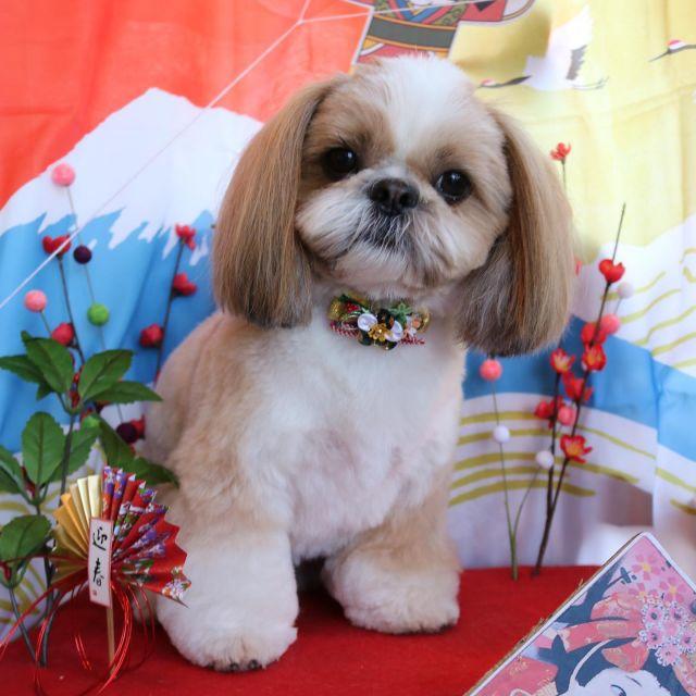 くぅちゃんが来てくれました☺️💕 今回もぬいぐるみさんみたいな愛らしいカットになりました🥰 トリミングは嫌だけど凄くお利口さんなくぅちゃんです😊✨ また来てね🎵  #くぅちゃん  #シーズー  #トリミング  #ぬいぐるみさんみたい🐶💕  #dog  #dogstagram  #doglover  #doglife  #montoblan