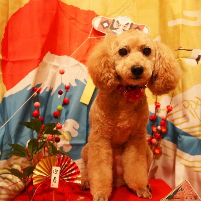クッキーちゃんとミルキーちゃんが来てくれました☺️💕 第二の我が家〜的な2人なのでしっかり私の横にスタンバイしてる姿が笑えちゃう🤣 今回もスッキリカットして美人さんになりました😍! また来てね🎵  #クッキーちゃん  #ミルキーちゃん  #トイプードル  #チワプー  #トリミング  #第二の我が家  #dogstagram  #dog  #doglover  #doglife  #montoblan