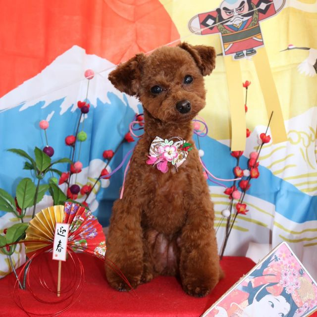 ジェニーちゃんが来てくれました☺️💕 新年を迎えてすぐ甘えん坊ジェニーちゃんとご挨拶出来て嬉しいな🙌❣️ カットは前回のボディーを元に足回りを綺麗に整えました😊! 今年もまた1年よろしくね〜🥰  #ジェニーちゃん  #トイプードル  #お正月ショット🎍  #可愛い甘えん坊さん  #トリミング  #dog  #dogstagram  #doglover  #doglife  #montoblan