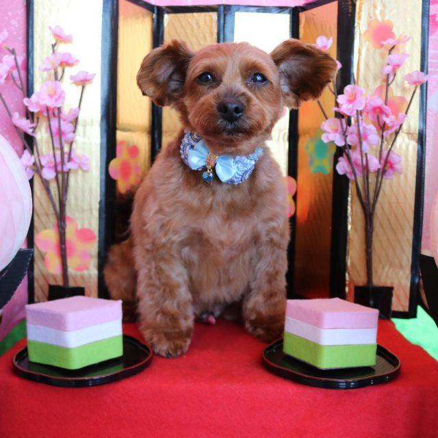 ベルちゃんが来てくれました☺️💕 今回はハーブパックをして皮膚はしっとり〜、毛はツヤツヤになりました😆✨ ベルちゃんはわちゃわちゃと常に甘えてくれるのでついつい甘々モードに入ってしまいます🥰 帰りはパパを独り占めで喜びに満ち溢れてるベルちゃんでした😆✨ また来てね🎵  #ベルちゃん  #ヨークシャプードル  #トリミング  #ハーブパック  #甘えん坊さん❤️  #お雛様🎎  #dog  #dogstagram  #doglover  #doglife  #montoblan