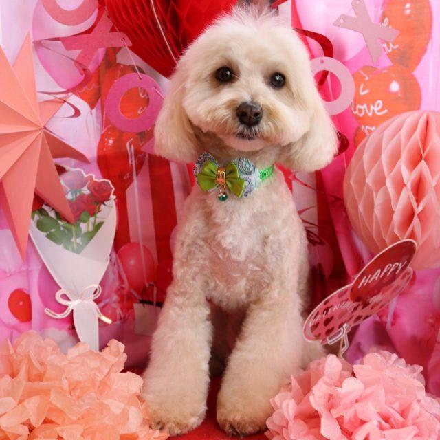 ココ君が来てくれました☺️💕 いつも甘えん坊さんのココ君❣️ 顔まわりは丸〜く可愛らしくカットをして女の子のような仕上がりになりました😆✨ また来てね🎵  #ココ君  #マルプー  #トリミング  #女の子のような男の子  #甘えん坊さん❤️  #dog  #dogstagram  #doglover  #doglife  #montoblan