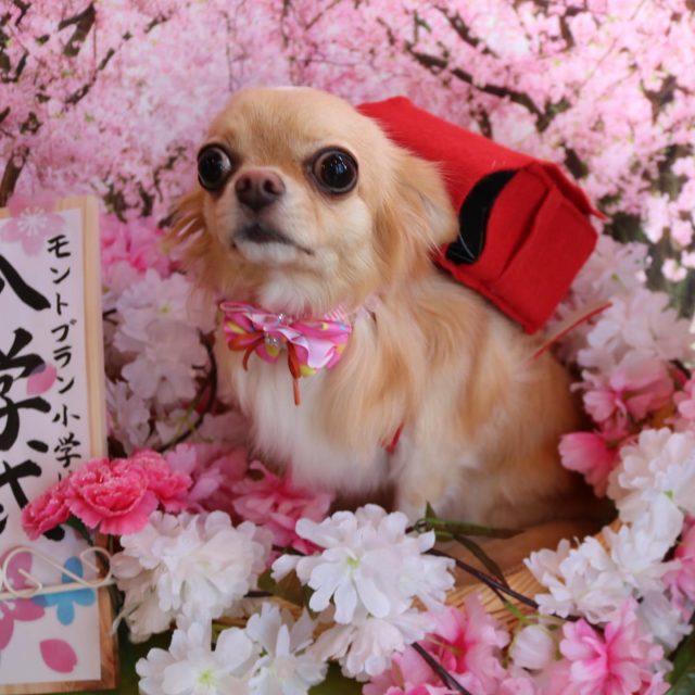 カノンちゃんが来てくれました☺️💕 トリミング前はプルプルしちゃうけど終わったら甘えん坊さんカノンちゃん🥰 お尻は桃尻カットで可愛く仕上がりました😆✨ また来てね🎵  #カノンちゃん  #チワワ  #dog  #トリミング  #桃尻カット  #dogstagram  #doglover  #doglife  #montoblan