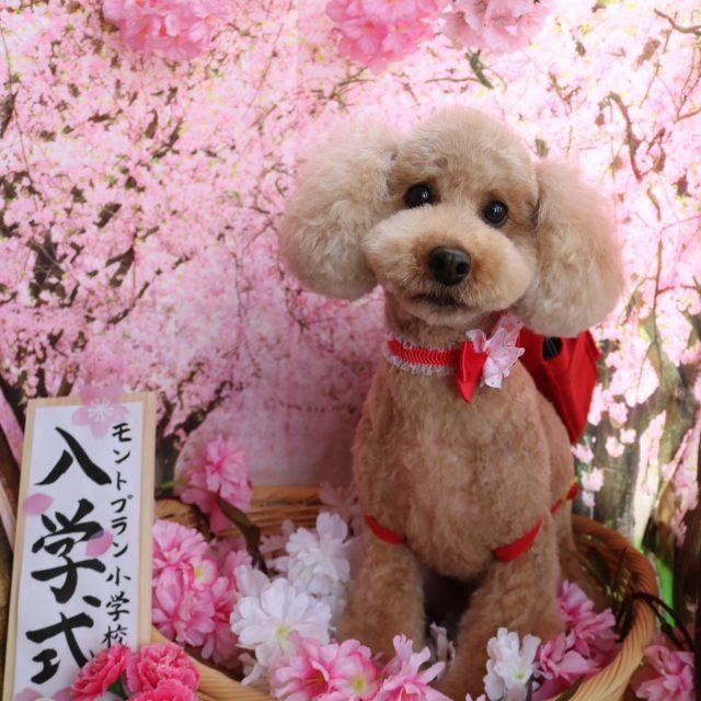 ハナちゃんが来てくれました☺️💕 今回は炭酸泉にも入ってフワフワモコモコ美人さん😍✨ 可愛い新入生さんになりました🥰 また来てね🎵  #ハナちゃん  #トイプードル  #可愛い新入生  #炭酸泉  #ふわふわもこもこ  #dog  #トリミング  #doglover  #dogstagram  #doglife  #montoblan