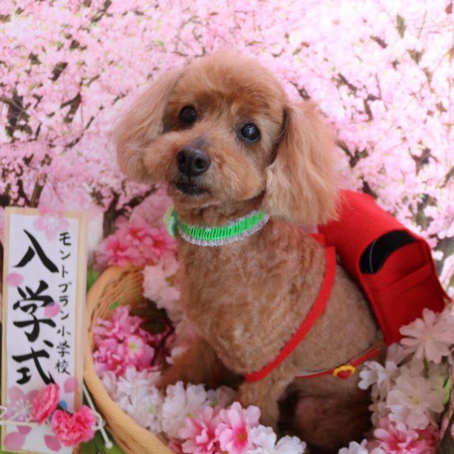 ルルちゃんが来てくれました☺️💕 今回は前回よりも足回り短めにカットをしてスッキリ可愛く仕上がりました😆❣️ ランドセルがお似合いです😆✨ また来てね🎵  #ルルちゃん  #トイプードル  #可愛い新入生  #dog  #dogstagram  #doglover  #doglife  #montoblan