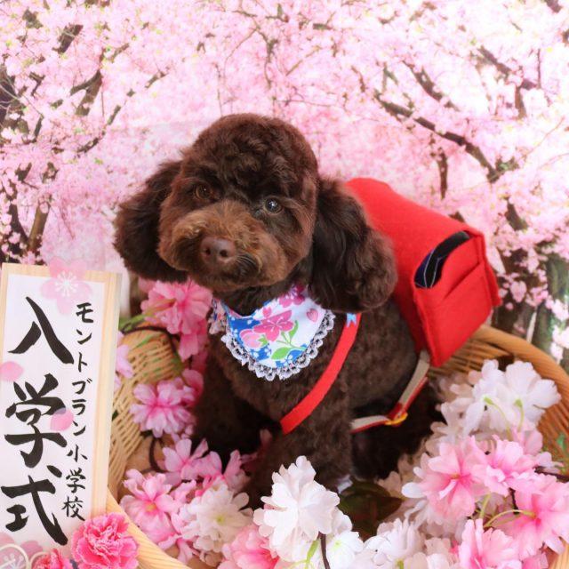 ジュン君が来てくれました☺️💕 相変わらずのやんちゃ甘えん坊さん😆❣️ お顔周りは残して体はスッキリ可愛く仕上がりました😊✨ また来てね🎵  #ジュン君  #トイプードル  #トリミング  #dog  #dogstagram  #doglover  #doglife  #可愛い新入生  #montoblan