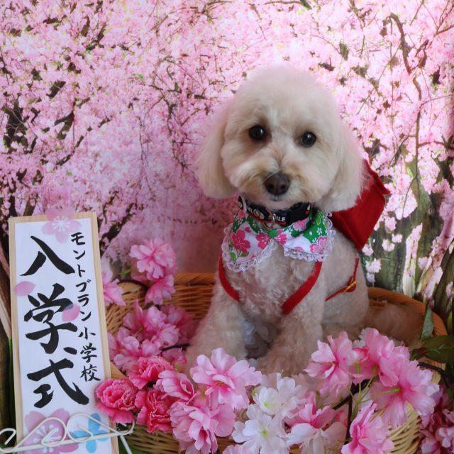 ココ君が来てくれました☺️💕 お顔を出来る限りまる〜く残して可愛く仕上がりました😊❣️ 可愛い新入生ちゃんです😆✨ また来てね🎵  #ココ君  #トイプードル  #可愛い新入生  #トリミング  #dog  #dogstagram  #doglover  #doglife  #montoblan