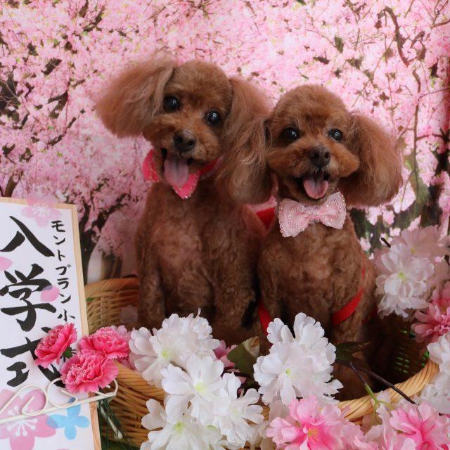 モンブランちゃん、ショコラちゃんが来てくれました☺️💕 いつもの足回りポンポンを作って可愛く仕上がりました😍! 可愛い新入生のお写真もバッチリカメラ目線をくれました😆✨ また来てね🎵  #ショコラちゃん  #モンブランちゃん  #トイプードル  #トリミング  #可愛い新入生  #dog  #dogstagram  #doglover  #doglife  #montoblan