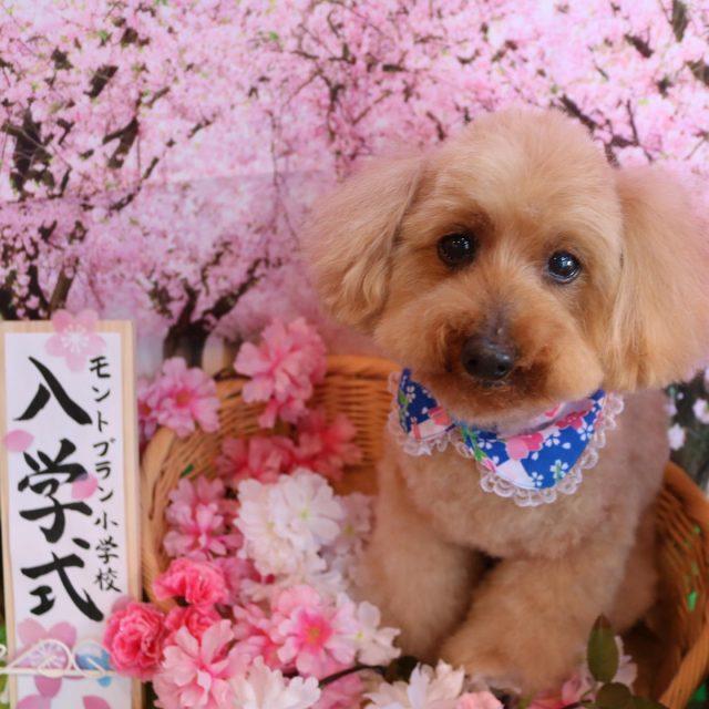 コニーちゃんが来てくれました☺️💕 顎下の毛を残したモコモコカットで可愛く仕上がりました😆❣️ 随分と慣れてくれてずっとお膝抱っこで過ごしてくれるコニーちゃんです🥰 また来てね🎵  #コニーちゃん  #トイプードル  #可愛い新入生  #トリミング  #dog  #dogstagram  #doglover  #doglife  #montoblan