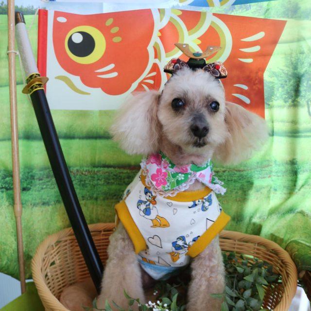 シュー君が来てくれました☺️💕 僕ちゃんかっこいいだろ〜といつもながらしっかりポーズを取ってくれるモデルちゃん🤣✨ 今回もフワフワに仕上がりました❣️ また来てね🎵  #シュー君  #トイプードル  #トリミング  #こどもの日  #dog  #dogstagram  #doglover  #doglife  #montoblan
