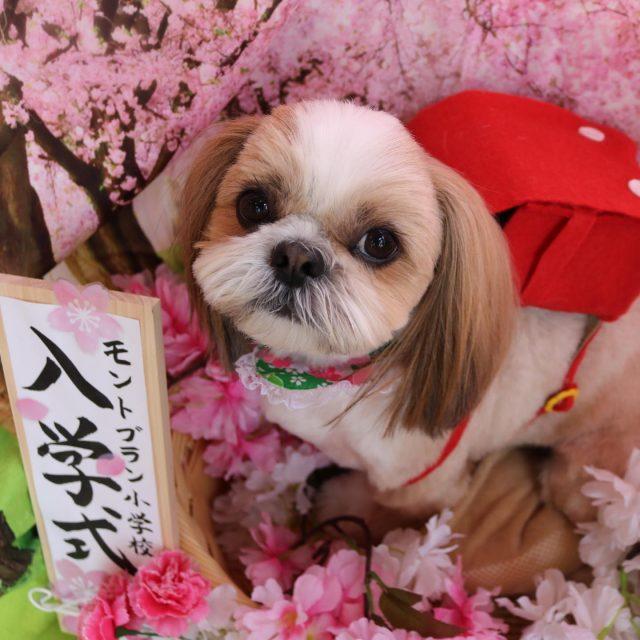 くぅちゃんが来てくれました☺️💕今回はサマーカットでスッキリ可愛く仕上がりました😊❣️ トリミングが終わると甘えてくれるようになって嬉しいですね🥰 また来てね🎵  #くぅちゃん  #シーズー  #トリミング  #新入生  #dog  #dogstagram  #doglover  #doglife  #montoblan
