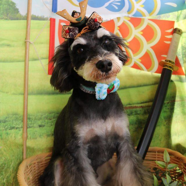 ライム君が来てくれました☺️💕 お耳サラサラヘアーのサマーボーイになりました😆✨ ママのお迎えでテンション上がってる可愛いライム君🤣❣️ また来てね🎵  #ライム君  #ミニチュアシュナウザー  #トリミング  #サマーボーイ  #dog  #dogstagram  #doglover  #doglife  #montoblan  #炭酸泉