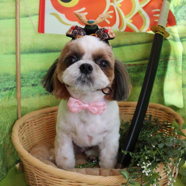 チコちゃんが来てくれました☺️💕 まずはお誕生日おめでとうチコちゃん🥳🎉 はじめてでもお利口さんでした💗 サマーカットでさらに可愛くなりました😆✨ 小柄なチコちゃんなのでパピーちゃんのようです🥰 また来てね🎵  #チコちゃん  #シーズー  #パピーちゃんみたい🐶  #dog  #dogstagram  #doglover  #doglife  #montoblan