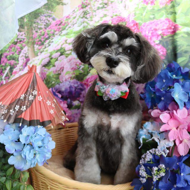 シェリーちゃんが来てくれました☺️💕 わちゃわちゃうさぎさんのような動きを見せてくれる可愛いシェリーちゃん🤣❣️笑 今回は夏に向けていつもより短めにカットしました☺️✨ また来てね🎵  #シェリーちゃん  #ミニチュアシュナウザー  #トリミング  #montoblan  #dog  #dogstagram  #doglife  #doglover