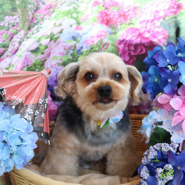 ムギちゃんが来てくれました☺️💕今回は短くするのをやめてモフモフムギちゃんです😆✨ やっぱり長くてコロコロしたスタイルも可愛いですね💗 また来てね🎵  #ムギちゃん  #ヨークシャテリア  #トリミング  #montoblan  #dog  #dogstagram  #doglife  #doglover