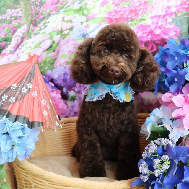 ジュン君が来てくれました☺️💕 トリミング中はお利口さんだけど終わったらわちゃわちゃ可愛いジュン君です🤣✨ 今回も少し短めにカットをしたので公園で思う存分転げ回ってね😆❣️ また来てね〜🎵  #ジュン君  #トイプードル  #トリミング  #montoblan  #dog  #dogstagram  #doglife  #doglover