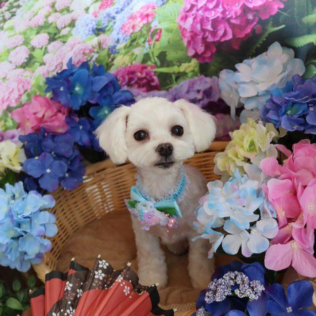 ロン君が来てくれました☺️💕 今回は夏用に全体的に短めにしてスッキリ可愛くパピーちゃんのようになりました😆✨ 今年は梅雨が長引きそうだからジメジメ時期にも負けないで過ごそうね〜😣💗 また来てね🎵  #ロン君  #マルチーズ  #パピーちゃんカット  #紫陽花  #トリミング  #montoblan  #dog  #dogstagram  #doglife  #doglover