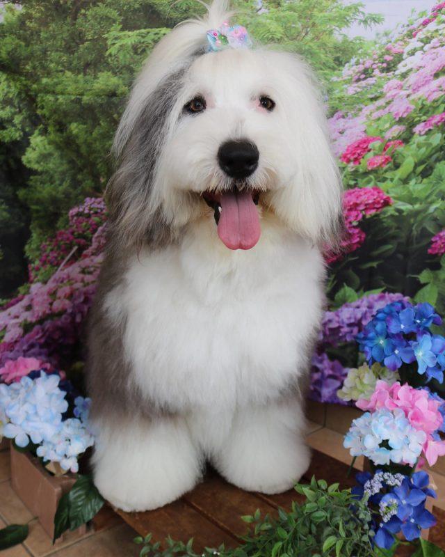 ルーク君が来てくれました☺️💕 お久しぶり〜のルーク君😆✨ 相変わらずの愛嬌の良さにきゅんきゅんです🥰 また機会があったら是非遊びに来てね🎵  #ルーク君  #オールドイングリッシュシープドッグ  #トリミング  #炭酸泉  #ちょっとだけサマーカット  #montoblan  #dog  #dogstagram  #doglife  #doglover