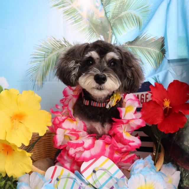 シェリーちゃんが来てくれました☺️💕 いつも元気いっぱい愛くるしいシェリーちゃん❣️ ずっとパピーちゃんのようです🥰 今回も前回と同じカットで可愛く仕上がりました😊✨ また来てね🎵  #シェリーちゃん  #ミニチュアシュナウザー  #トリミング  #dog  #dogstagram  #doglife  #doglover  #montoblan