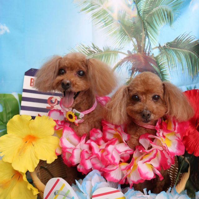 モンブランちゃん、ショコラちゃんが来てくれました☺️💕 2人ともサマーガールに大変身❤️ いつもお褒めの言葉をいただいてありがとうございます🥰 励みになります〜🙇♀️✨ また来てね🎵  #ショコラちゃん  #モンブランちゃん  #トイプードル  #サマーガール  #dog  #dogstagram  #doglife  #doglover  #montoblan