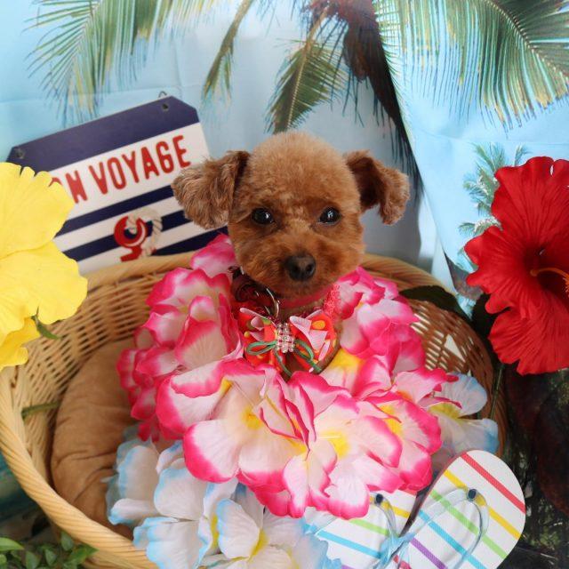 ジェニーちゃんが来てくれました☺️💕 今回もお顔周りぬいぐるみちゃんカットで可愛く仕上がりました🥰 お洋服もご購入くださってありがとうございます🐷❣️ いただいたジェニーちゃんと牡丹🐷のお写真も久しぶりの可愛いコンビお写真だったので載せていただいちゃいました😍! また来てね🎵  #ジェニーちゃん  #トイプードル  #トリミング  #dog  #dogstagram  #doglife  #doglover  #montoblan