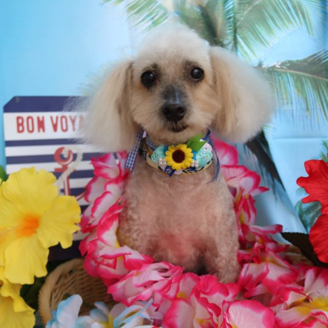 シュー君が来てくれました☺️💕 サマーカットで可愛いメンズ君になりました😆✨ 長い間会えてないけどまたお泊まりも楽しみにしてまーす🥰 また来てね🎵  #シュー君  #トイプードル  #トリミング  #dog  #dogstagram  #doglife  #doglover  #montoblan