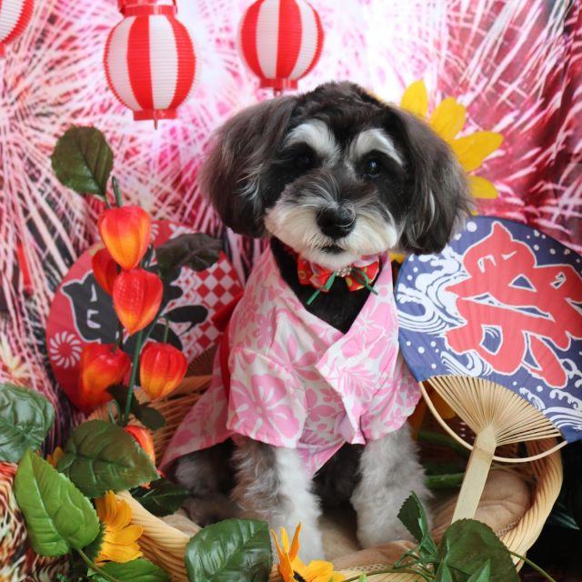 シェリーちゃん夏秋特集☺️💕 いつもご来店ありがとうございます❣️ ぬいぐるみちゃんカットで夏祭りもうさぎシェリーちゃん可愛いです🥰 まだまだパピーちゃんらしくいてね😆✨笑 またきてね🎵  #シェリーちゃん  #ミニチュアシュナウザー  #トリミング  #十五夜  #dog  #dogstagram  #doglover  #doglife  #montoblan