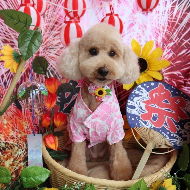 ハナちゃん夏秋特集☺️💕 いつもご来店ありがとうございます❣️ なかなか投稿が出来ず申し訳ないです🙇♀️ 今回も可愛いくぬいぐるみちゃんカットで素敵な魔女っ子ハナちゃんになりました🎃💕 お洋服もご購入ありがとうございます❣️ また来てね〜🎵  #ハナちゃん  #トイプードル  #トリミング  #dog  #dogstagram  #doglover  #doglife  #montoblan  #ハロウィン
